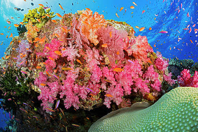 Photograph - Alconarian And Gorgonian Coral by Dave Fleetham