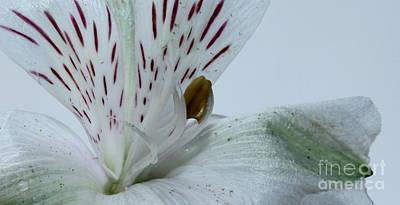 White Flower Photograph - Alive by Krissy Katsimbras
