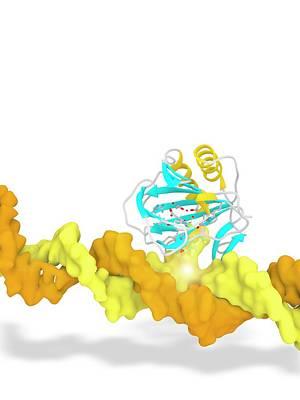 Alkb In Complex With 1-methyl Adenine Art Print