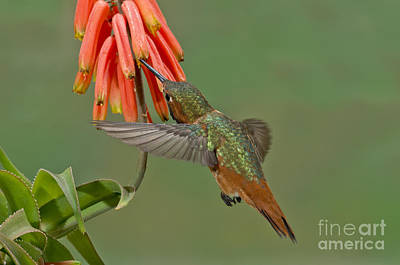 Allens Hummingbird Feeding Art Print