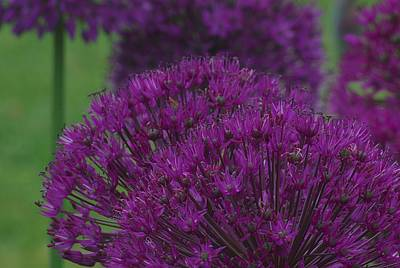 Print featuring the photograph Allium 2 by Ken Dietz
