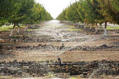 Irrigation Photograph - Almond Trees Being Irrigated by Ashley Cooper