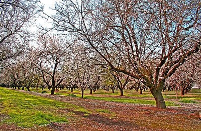Photograph - Almond Trees In Bloom by Joseph Coulombe