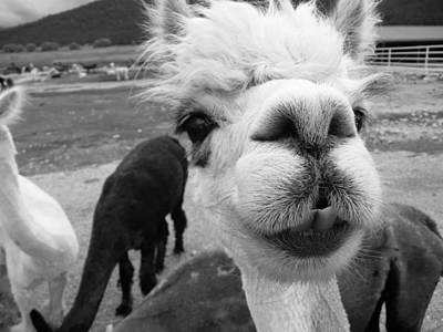 Photograph - Alpaca Face by Keith McGill