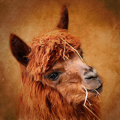 Domestic Animals Mixed Media - Alpaca by Heike Hultsch