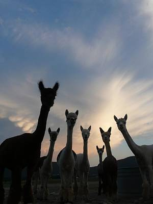 Photograph - Alpaca Sunset by Keith McGill