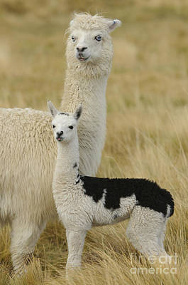 Alpacas Photograph - Alpaca With Young by John Shaw