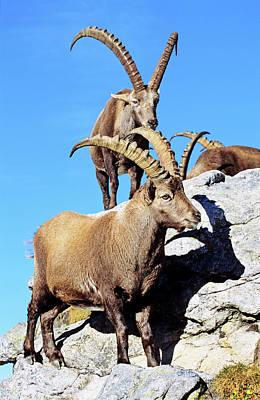 Deliberating Photograph - Alpine Ibex (capra Ibex by Martin Zwick