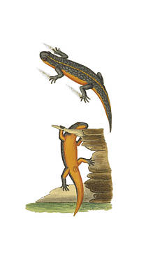 Newts Photograph - Alpine Newt by Biodiversity Heritage Library