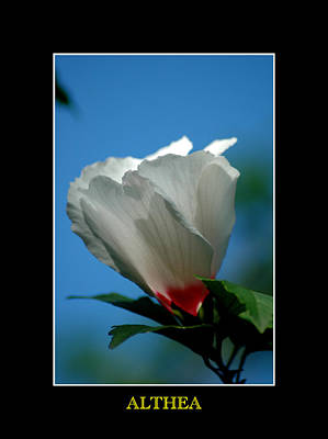 Photograph - Althea Flower by David Weeks