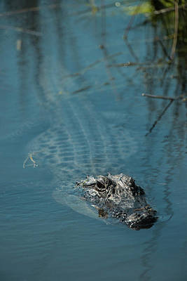 American Alligator (alligator Art Print