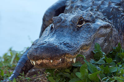 Photograph - American Alligator by Byron Jorjorian