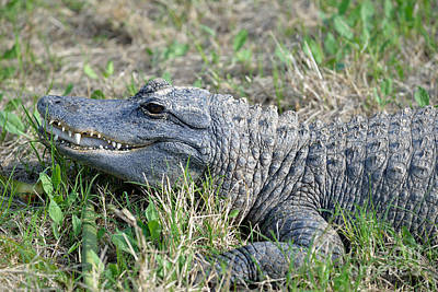 Alligator Photograph - American Alligator by George Atsametakis