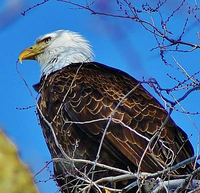 Photograph - American Bald Eagle by Bruce Bley