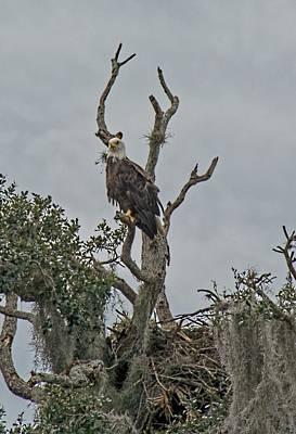 Photograph - American Bald Eagle by John Black