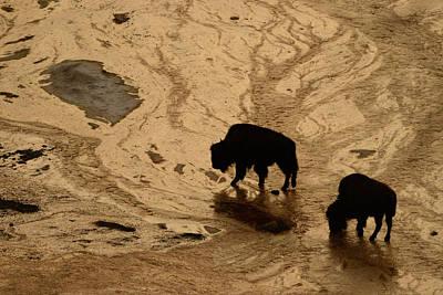 Mammoth Spring Photograph - American Bison, Bison Bison, Walking by Raul Touzon