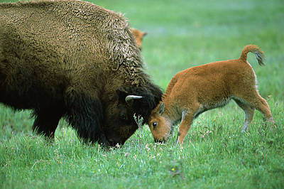 American Bison Cow And Calf Print by Suzi Eszterhas