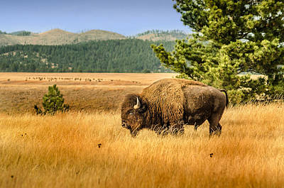Photograph - American Bison by Dakota Light Photography By Dakota