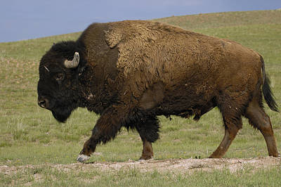 American Bison Male Wyoming Print by Pete Oxford