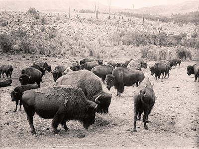 Photograph - American Buffalo by Gary Grayson