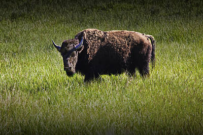American Buffalo Or Bison In Yellowstone Print by Randall Nyhof