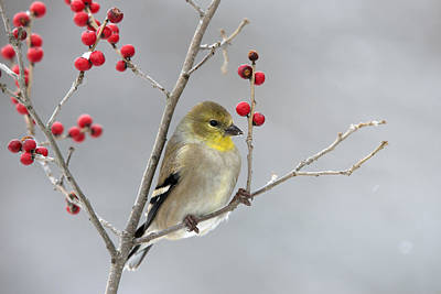American Goldfinch In Winter Art Print by Scott Leslie