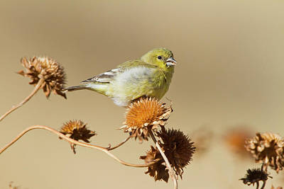 American Goldfinch (spinus Tristis Art Print