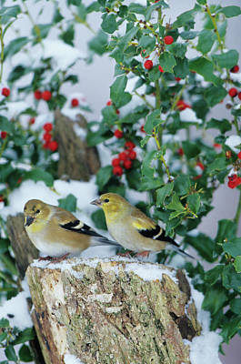 Snow Seeds Photograph - American Goldfinches (carduelis Tristis by Richard and Susan Day