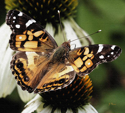 Photograph - American Lady Butterfly by James C Thomas