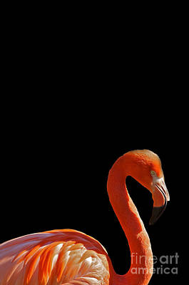 Illustration Mixed Media - American Pink Flamingo by Celestial Images