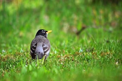 Photograph - American Robin  by Christina Rollo