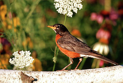 American Robin Photograph - American Robin (turdis Migratorius by Richard and Susan Day