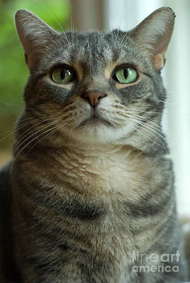 Grey Photograph - American Shorthair Cat Profile by Amy Cicconi