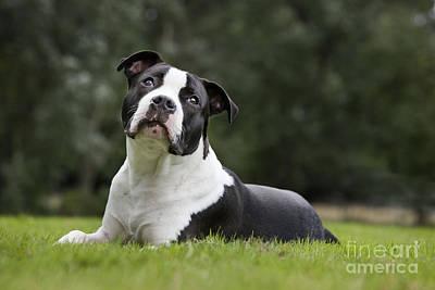 Pitbull Photograph - American Staffordshire Terrier Puppy by Johan De Meester
