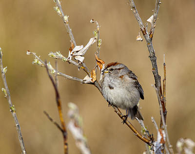 Photograph - American Tree Sparrow by Doug Lloyd