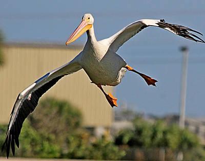 Photograph - American White Pelican by Ira Runyan