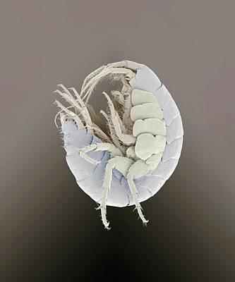 Amphipod Crustacean Art Print by Petr Jan Juracka