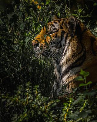 Amur Tiger Art Print by Ernie Echols