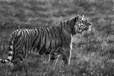 Photograph - Amur Tiger by Fiona Messenger