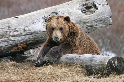 Photograph - An Adult Brown Bear Rests On A Log by Doug Lindstrand
