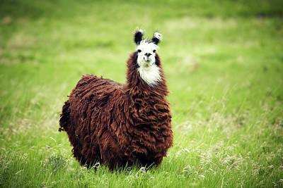 Llamas Photograph - An Alpaca Vicugna Pacos Poses by Todd Korol