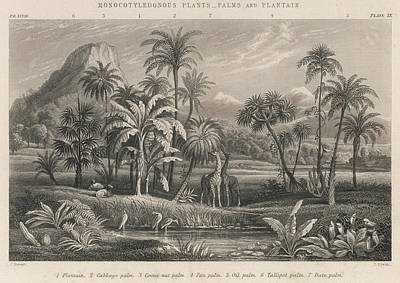 Exotic Plants Drawing - An Assortment Of  Monocotyledonous by Mary Evans Picture Library
