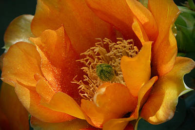 Cactus Southwest Cactus Flower Orange Wildflowers Nature Arizona Photograph - An Inside View by Cindy McDaniel