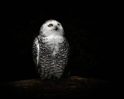 Animal Animal Photograph - An Owl by Kaneko Ryo