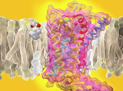 Cb1 Wall Art - Photograph - Anandamide And Cannabinoid Receptor by Ramon Andrade 3dciencia/science Photo Library