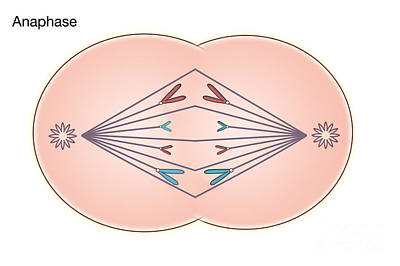 Info Graphic Photograph - Anaphase Of Mitosis by Spencer Sutton