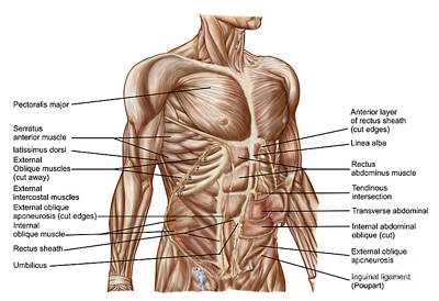 Rectus Abdominis Digital Art - Anatomy Of Human Abdominal Muscles by Stocktrek Images
