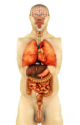Internal Organs Digital Art - Anatomy Of Human Body Showing Whole by Stocktrek Images