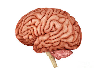 Lobe Digital Art - Anatomy Of Human Brain, Side View by Stocktrek Images