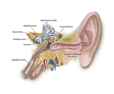 Physiology Digital Art - Anatomy Of Human Ear by TriFocal Communications